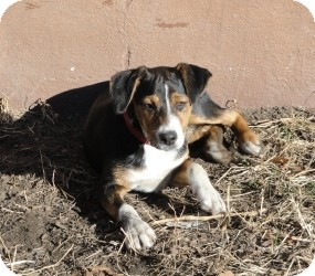 Australian Shepherd/Labrador Retriever Mix Puppy for adoption in Marlton, New Jersey - Zuri - 4 mos. old