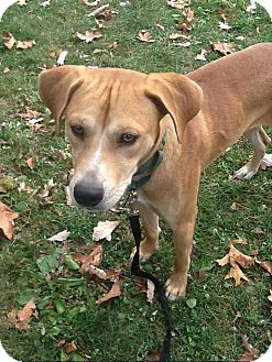 Labrador Retriever/Terrier (Unknown Type, Medium) Mix Dog for adoption in Brooklyn, New York - Charming Charlie
