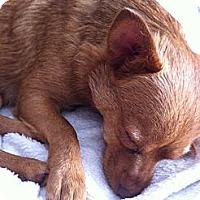 Adopt A Pet :: Phoebe - Commerce City, CO