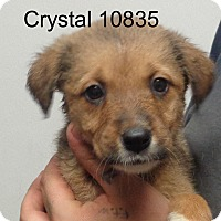 Adopt A Pet :: Crystal - Greencastle, NC