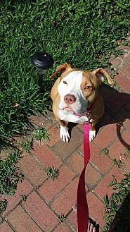 American Pit Bull Terrier Mix Dog for adoption in Fulton, Missouri - Bella - South Carolina