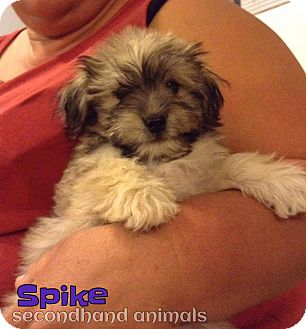 Terrier (Unknown Type, Small) Mix Puppy for adoption in Rosamond, California - Spike