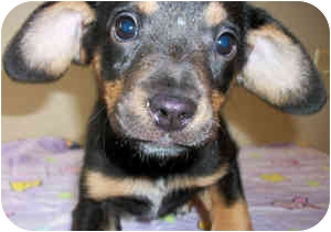 Beagle/Dachshund Mix Puppy for adoption in Struthers, Ohio - Ladybug
