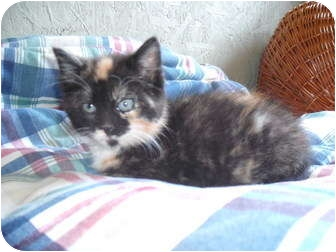 Domestic Shorthair Kitten for adoption in Morris, Pennsylvania - Jenna