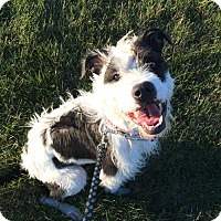 Terrier (Unknown Type, Medium) Mix Dog for adoption in Troy, Illinois - Mitzi Fostered (Sarah)