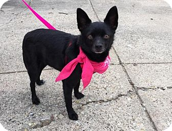 Schipperke Mix Dog for adoption in Dallas, Texas - Minnie Mae Schipperke