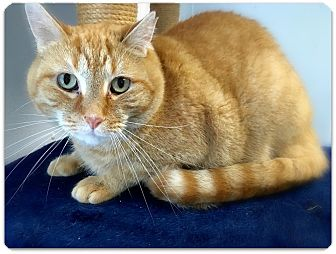 American Shorthair Cat for adoption in Ossipee, New Hampshire - Charlie
