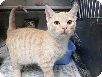 Domestic Shorthair Cat for adoption in Cleveland, Mississippi - CHEETOH