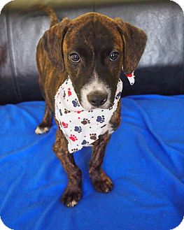 Hound (Unknown Type)/Pit Bull Terrier Mix Puppy for adoption in Philadelphia, Pennsylvania - Opie