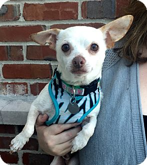 Chihuahua Mix Dog for adoption in Mount Pleasant, South Carolina - Sammie