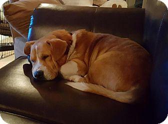 Basset Hound/Retriever (Unknown Type) Mix Dog for adoption in Freeport, New York - Barney