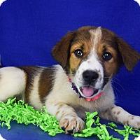 Adopt A Pet :: Celia - Denver, CO