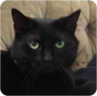 Domestic Shorthair Cat for adoption in Etobicoke, Ontario - Midnight
