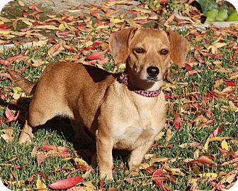 Dachshund Mix Dog for adoption in San Jose, California - Endie