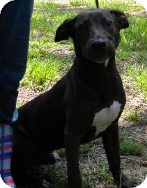Labrador Retriever Mix Dog for adoption in Gainesville, Florida - Elmer