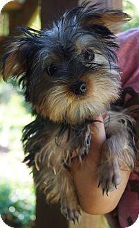 Yorkie, Yorkshire Terrier Puppy for adoption in Newark, Delaware - Gidget