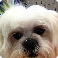 Adopt A Pet :: Mia Honey - Richfield, OH