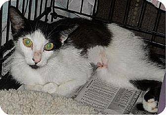 Domestic Shorthair Cat for adoption in San Antonio, Texas - Mallory