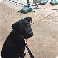 Adopt A Pet :: Butch - Dallas, TX
