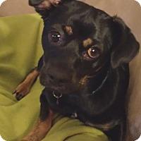 Adopt A Pet :: Dexter - Encino, CA