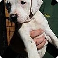 Adopt A Pet :: Bing - Gainesville, FL
