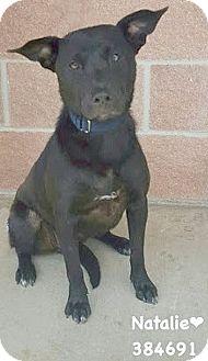 Labrador Retriever/Labrador Retriever Mix Dog for adoption in San Antonio, Texas - 384691 Natalie