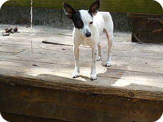Italian Greyhound Mix Dog for adoption in Old Town, Florida - Basil