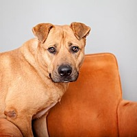 German Shepherd Dog/Shar Pei Mix Dog for adoption in Mission Hills, California - Toby