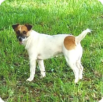Jack Russell Terrier Dog for adoption in Terra Ceia, Florida - ALEX - ADOPTED!