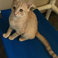 Domestic Mediumhair Cat for adoption in Lander, Wyoming - Juan