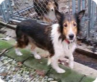 Sheltie, Shetland Sheepdog Dog for adoption in COLUMBUS, Ohio - Carrie