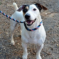 Jack Russell Terrier Mix Dog for adoption in Jackson, Mississippi - Petey