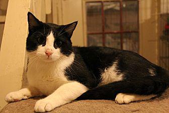 Domestic Shorthair Cat for adoption in Centerton, Arkansas - Opie