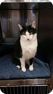 Domestic Shorthair Cat for adoption in Greensboro, North Carolina - Ava