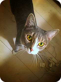 Domestic Shorthair Cat for adoption in Waldorf, Maryland - Noona