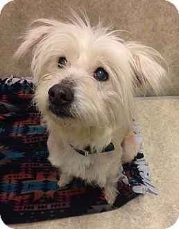 Miniature Poodle/Shih Tzu Mix Dog for adoption in Willmar, Minnesota - Bianca