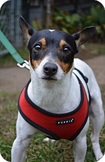 Rat Terrier Dog for adoption in Danbury, Connecticut - Jax