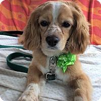 Adopt A Pet :: Clifford - ADOPTION PENDING!! - Arlington, VA