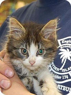 Domestic Mediumhair Kitten for adoption in Brooklyn, New York - Fuzzy