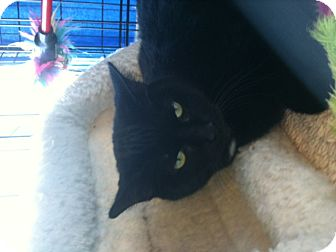 Domestic Shorthair Cat for adoption in West Dundee, Illinois - Bridget