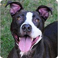 Adopt A Pet :: Chelsea - Chicago, IL