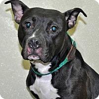 Adopt A Pet :: Pearl - Port Washington, NY