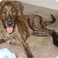 Adopt A Pet :: Ben - Gilbert, AZ