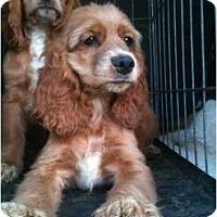 Adopt A Pet :: Riley - Toronto/Etobicoke/GTA, ON