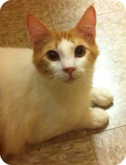 Domestic Mediumhair Cat for adoption in Lake Elsinore, California - Tangerine