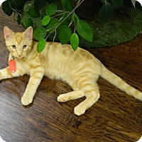 Adopt A Pet :: Harry Houligan - The Colony, TX