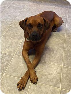 Boxer Mix Dog for adoption in Richmond, Virginia - Max
