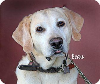Labrador Retriever Dog for adoption in Idaho Falls, Idaho - Beau