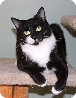Domestic Shorthair Cat for adoption in Fairfax, Virginia - Angelique