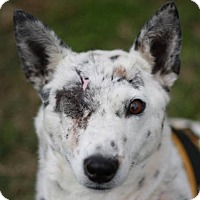 Jack Russell Terrier/Australian Cattle Dog Mix Dog for adoption in Danbury, Connecticut - Cella